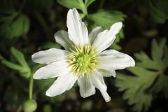 Callianthemum kirigishiense (Ken Sato & Koji Ito) Kadota, Fl. Jap. (Iwatsuki et al., eds.) 2a: 286 (2006)