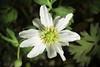 Photo:Callianthemum kirigishiense (Ken Sato & Koji Ito) Kadota, Fl. Jap. (Iwatsuki et al., eds.) 2a: 286 (2006) By sunoochi