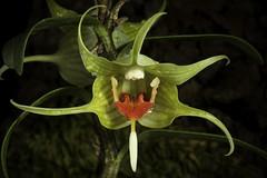 Dendrobium tobaense 'South Sumatra type. #200301' J.J.Wood & J.B.Comber, Lindleyana 8: 115 (1993)