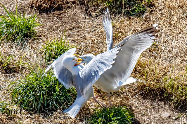 Goélands argentés - Prise de bec