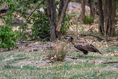 Kappengeier / Hooded Vulture
