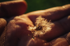 Close-up shot of dandelion petals in the palm of a man's hand