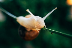 Close-up picture of a slug struggling not to fall from a stem, blurry forest background