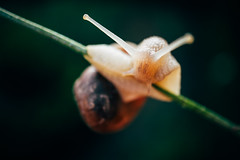 Snail having a difficult time staying on a plant stem