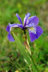 NS-08376 - Iris