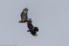 Common Buzzard & Carrion Crow (Buteo Buteo & Corvus corone)