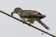 A Common Hawk Cuckoo with a Caterpillar meal