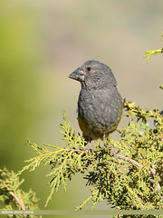 White-winged Grosbeak (Mycerobas carnipes)