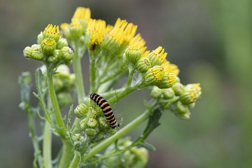 Caterpillar of the Cinnabar Moth
