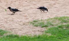 Crow, Corvus cornix, Kråka