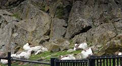 Scania goose, domestic breed, landrace, Skånegås