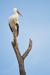 Stork perched on a dead tree
