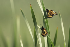 Monarch butterflies waiting for the dew to dry on their wings in the morning at McGregor Marsh, Minnesota
