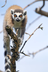 Lemur perched on the tree