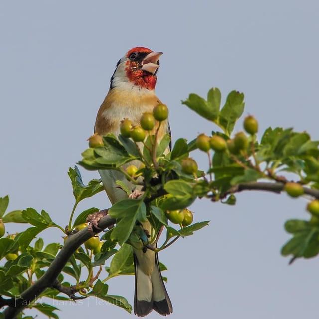 Singing Goldfinch