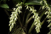 Photo:Pinalia ovata (Lindl.) W.Suarez & Cootes, OrchideenJ. 16: 71 (2009) By sunoochi