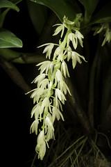 Pinalia ovata (Lindl.) W.Suarez & Cootes, OrchideenJ. 16: 71 (2009)
