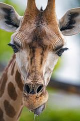 Dropping giraffe