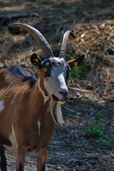 278 - Tierpark Haag - Ziegen
