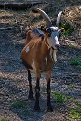 279 - Tierpark Haag - Ziegen