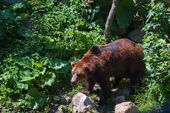 287 - Tierpark Haag - Braunbär