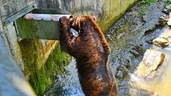 296 - Tierpark Haag - Braunbär