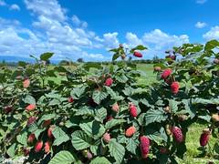 Fresh Berries, Fresh Air