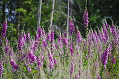 Fingerhutwiese - Fox gloves meadow