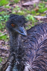 269 - Tierpark Haag - Emu
