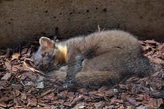 286 - Tierpark Haag - Edelmarder