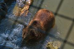288 - Tierpark Haag - Braunbär