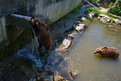 291 - Tierpark Haag - Braunbär