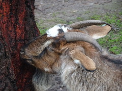 Gumeracha.  Goat with horns sniffing out a tree trunk. In the animal park of the Worlds Biggest Rocking Horse complex.