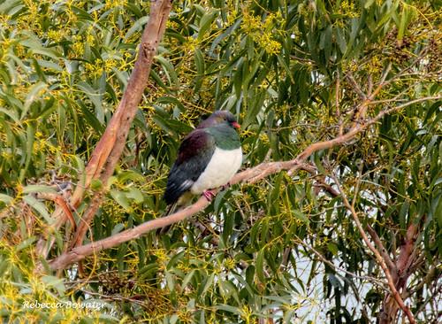 NZ Pigeon 'Kereru' on a gum tree at the bottom of my garden