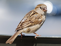 Sparrow on the chair