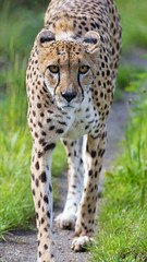 Cheetah walking towards me