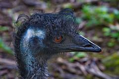 273 - Tierpark Haag - Emu