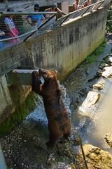 295 - Tierpark Haag - Braunbär