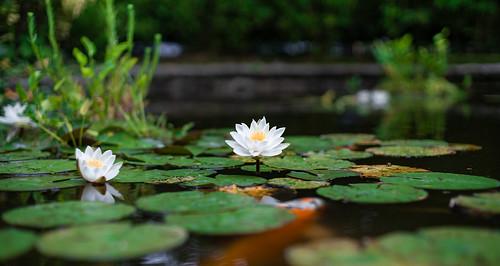 Lotus in my back yard ...