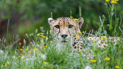 Another cheetah in the grass