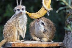 Two meerkats and a banana