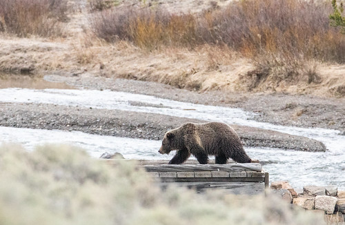 Grizzly bear on a trail