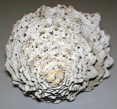 Hystrivasum sp. (fossil snail shell) (Pliocene or Pleistocene; eastern USA) 3
