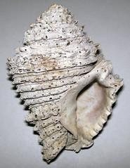 Hystrivasum sp. (fossil snail shell) (Pliocene or Pleistocene; eastern USA) 2