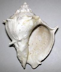 Melongena corona (fossil crown conch shell) (Pliocene or Pleistocene; eastern USA) 2