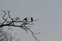 Little Raven and Little Pied Cormorant