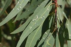 Glycaspis brimblecombei 20-07-05 01