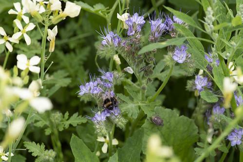 Buff-tailed Bumblebee & Sloe Bug