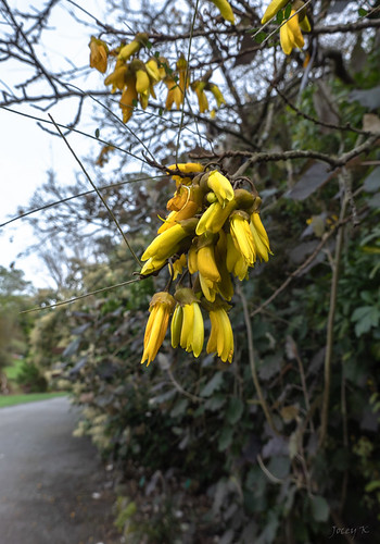 Lovely Yellow Kowhai
