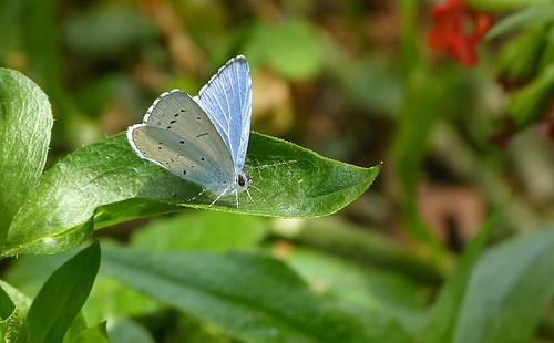 Holly blue / Boomblauwtje